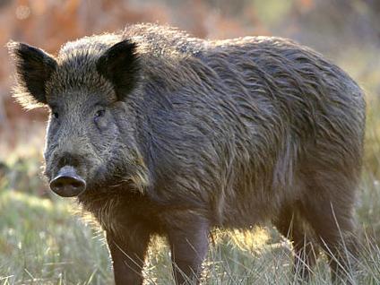 Roger's Butcher Shop wild hog processing