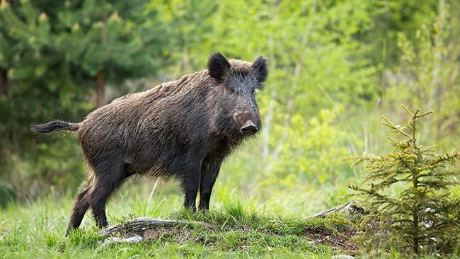 Roger's Meat Market Wild Boar Processing